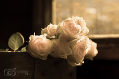 If we gather little sunbeams (Photography by Julia Martin) Tags: roses spring bokeh tabletopphotography creativeedit photographybyjuliamartin ifwegatherlittlesunbeams