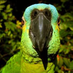 Parrot Selfie (joaobambu) Tags:
