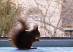 """hier möchte ich öfters in Ruhe sitzen .... (flixx-ak) Tags: germany deutschland squirrel eichhörnchen 2016 r0018940 flixxakoffenbachammainhessen frühlingsahnen """"anvormeinemfenster"""""""