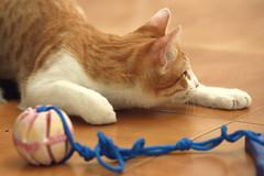 Gato Jinks  (24) x (adopcionesfelinasvalencia) Tags: gato jinks