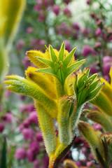 Anigozanthos humilis   (ashitaka-f) Tags: flower green yellow humilis anigozanthos haemodoraceae