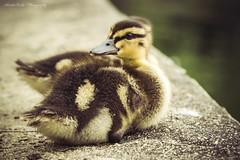 Mallard Duckling Edge of Water (cherylfocke) Tags: bird nature duck pond duckling babyduck