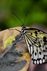 Papillons en Libert 2016 - Photo 44 (Le Chibouki frustr) Tags: macro butterfly insect nikon dof montral bokeh montreal butterflies insects fullframe fx botanicalgarden pdc jardinbotanique homa montrealbotanicalgarden hochelagamaisonneuve closeupfilter closeuplens jardinbotaniquedemontral d610 610 macrophotographie butterfliesgofree papillonsenlibert tamronspaf90mmf28dimacro nikond610 papillonsenlibert2016 butterfliesgofree2016 huitimevisite eighthvisit