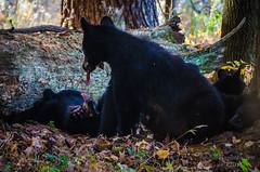 Imitating Mama (Ron Harbin Photography) Tags: bear black mother baby greatsmokymountainsnationalpark gsmnp east tennessee tn cadescove cubs momma nature animals wild