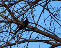 Blackbird (marensr) Tags: park blue sky chicago tree blackbird horner