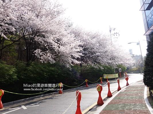 안산공원벚꽃02