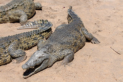Crocodile Farm (sampollittphoto) Tags: africa lake green pool danger bay dangerous reptile farm teeth alligator yawn tourist eat vision malawi heat crocodile bite predator caiman salima wetland sense senga crocodylus subfamily crocodylinae