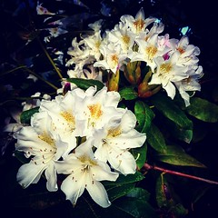 White Rhododendrons (Robert_Brown [bracketed]) Tags: white flower floral oregon portland spring blossoms photograph rhododendron squareformat bloom robertbrown instagram instagramapp uploaded:by=instagram