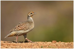 Grey Francolin (arjun.nikon) Tags: wild portrait bird birds animal animals photography grey photo nikon wildlife explorer expose explore national wilderness geographic francolin wildbirds wildbird nikonphotography letsexplore iamnikon instagram wildpxblogspotcom wildpx