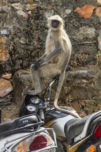 Affe auf Motorrad