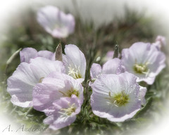 Dreamtime (A Anderson Photography, over 1 million views) Tags: pink canon droplets bokeh windblown primrose