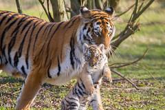 Transport d'enfants - Explored (Oric1) Tags: tigres de sibérie tamron sp 150600mm f563 di vc usd a011 parc félins canoneos7d france tamron150600 animal mum siberian tiger tigre parcdesfélins naya tigreau 7d eos canon tamronsp150600mmf563divcusd jeanlucmolle