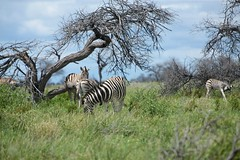 Group of zebras eating grass in the bush with cloudy sky at Etosha National Park - Namibia Best Game Reserve. (Stan de Haas Photography) Tags: africa park wild horse white mountain color green tourism ass nature grass animal animals natal mammal zoo bay bush sand rainforest pattern skin eating african wildlife south tail decoration descent royal reserve dry safari national camouflage zebra tropical backgrounds botswana plains serengeti namibia moremi striped textured etosha walvis kruger equus quagga grevys grevyi standehaas