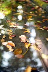 Red leaf floats on water (Alfred Life) Tags: leica 50mm shanghai voigtlander  nokton m9 f15  leicam9 m9p  leicam9p elitegarden