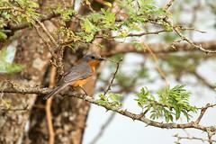 Silverbird (Empidornis semipartitus) (Sergey Pisarevskiy) Tags: africa birds wildlife uganda birdwatching wildnature silverbird empidornissemipartitus