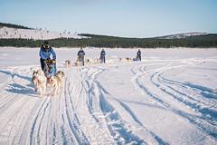 DSC_8406 (Adventurin') Tags: dog sweden stockholm aurora lapland sledding kiruna nothernlights