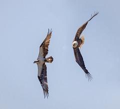 Territorial Dispute (tresed47) Tags: philadelphia birds us eagle pennsylvania content places folder osprey takenby 2016 johnheinznwr peterscamera petersphotos canon7d 20160420johnheonzbirds 201604apr