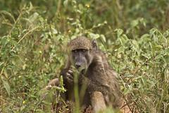 chacma baboon (Papio ursinus) (delimaaaaaaaaa) Tags: africa southafrica monkey safari macaco baboon krugerpark frica fricadosul babuno