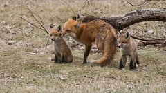 Fox Family (Raymond J Barlow) Tags: travel family red nature animal wildlife workshop redfox phototours raymondbarlow