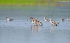 United by Thoughts... (Anirban Sinha 80) Tags: field birds ed nikon d beak 500mm wetland 610 vrii