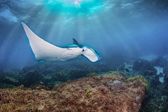 Manta. Rays. (merbert2012) Tags: ocean fish nature underwater pacific scuba diving mantaray stradbrokeisland underwaterphotography nikond800 aquaticahousing mantaraybommie