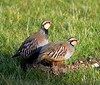 Two Frenchmen at Bucklesham (Chris Baines) Tags: suffolk partridges redlegged bucklesham