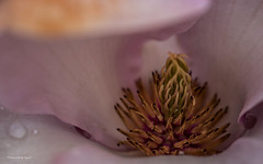 Magnolie - Bltestempem (Pana53) Tags: portraits outside flora nikon outdoor details hamburg pflanzen clematis blumen makro farn tulpe narzissen magnolie botanischergarten apfelblte kleinflottbek schachbrettblume naturfotografie naturfoto nikond810 lokischmidt pana53 naturundlandschaftsfotografie derbotanischegartenkleinflottbek naturportrait photographedbypana53 wiesenschelle