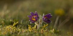 Pulsatilla vulgaris (Cimber_Photos) Tags: flowers wildflower narture denmak