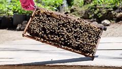 Beezneez (Sarperdong) Tags: bees sting philippines bohol dauis beefarm fujifilmph