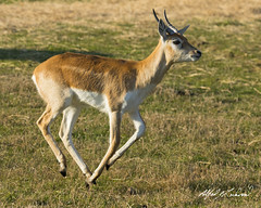 Blackbuck - Adolescent (Alfred J. Lockwood Photography) Tags: morning winter male nature grass mammal texas wildlife adolescent glenrose fossilrim blackbuck fossilrimwildlifecenter alfredjlockwood