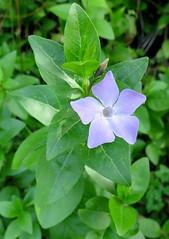 149-March'16 (Silvia Inacio) Tags: flower macro portugal sintra flor vinca