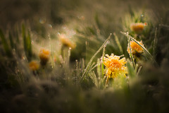 Taraxacum (matthiasstiefel) Tags: schnee snow green ice spring frost crystals bokeh meadow wiese frstenfeldbruck grn eis reflexions frhling taraxacum reflektionen lwenzahn eichenau kristalle supertakumar50mmf14