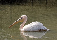 Plican (eminorah) Tags: eau lac pelican bec rhodes parc blanc nage regard saintecroix animalier parcanimalier