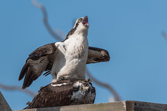 Osprey mating cr-9920 (P.E.T. shots) Tags: mating osprey