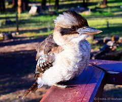 DSC_0395.jpg (ejdw) Tags: bird australia victoria marysville kookaburra