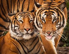 JaxZoo_14-3-15-7977 (RobBixbyPhotography) Tags: zoo florida tiger malayan jacksonville jaya penari