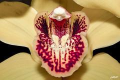 Anziana che impasta (theofficialcarena) Tags: old red orchid flower macro love close fiore rosso colori desaturate orchidea