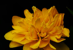 DSC03183 (François wry) Tags: flower macro fleur jaune contraste flour pétale détails