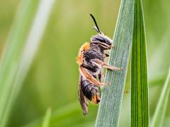 Rotschopfige Sandbiene  (andrena haemorrhoa) (Ollis Fotos) Tags: macro focus stack biene bracketing nitida andrena em10 sandbiene oypmpus
