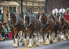 Budweiser Clydesdyles (Mark Chandler Photography) Tags: street atlanta horses people urban music holiday color colour building green girl architecture canon ga buildings georgia graffiti march dancers atl flag band trumpet parade 7d instrument marching colourful horn juggler streetcar tuba budweiser peachtreestreet martinlutherking topaz bagpipe clydesdales stparticksday highschoolbands markchandler 7dmarkii topazglow