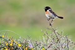 Chatty! (Satriver) Tags: travel male bird nature canon spain wildlife birdwatching tarifa travelphotography stonechat