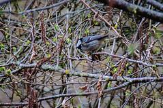 17042016DSC_0072-2.jpg (Ignacio Javier ( Nacho)) Tags: espaa flickr aves es cantabria facebook naturea faunayflora campoolosvalles