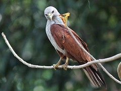 Brahminy Kite (SivamDesign) Tags: kite bird fauna canon eos rebel kiss 300mm tele x4 seaeagle redbacked brahminykite haliasturindus brahminy 550d canonef300mmf4lisusm t2i redbackedseaeagle