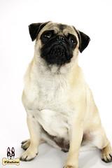 luna8ml (fifa foto) Tags: dog cute puppy funny sad sweet pug