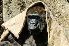 Western Lowland Gorilla, Piko of Ueno Zoo :  (Dakiny) Tags: park black nature animal japan mammal zoo monkey tokyo spring nikon gorilla ueno outdoor ape april tamron piko uenopark taito uenozoo 2016 westernlowlandgorilla lowlandgorilla hominidae a005 d7000 nikonclubit modela005 sp70300mmf456divcusd