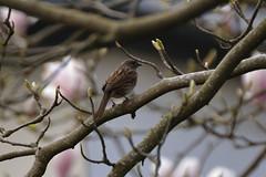 Heckenbraunelle (nirak68) Tags: deutschland aves lbeck prunellamodularis vogel singvogel heckenbraunelle passeri 107366 schleswigholsteinkreisfreiehansestadtlbeck c2016karinslinsede