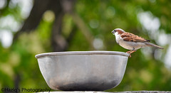 Please place water pots for thirsty birds on terraces in summers.. (haziq ali) Tags: pakistan summer bird nature nikon sparrow islamabad pakistaniphotographer birdsphotography