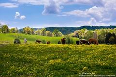 Tennessee Pastureland (Paul's Captures (paul-mashburn.artistwebsites.com)) Tags: clouds cows tennessee pasture herd rollinghills easttennessee pastureland springintennessee
