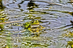 """griechenland_frosch • <a style=""""font-size:0.8em;"""" href=""""http://www.flickr.com/photos/137809870@N02/26414646736/"""" target=""""_blank"""">View on Flickr</a>"""