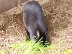 Zuzu, always digging (Tjflex2) Tags: pet rabbit bunny nature lapin
